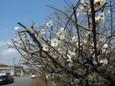 梅の花 平成23年春